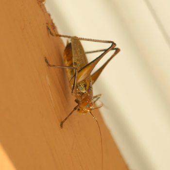 Ischnomela pulchripennis (Laubheuschrecke) - Costa Rica