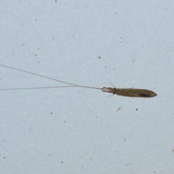 Trichoptera (Köcherfliegen)