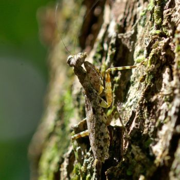 Liturgusa sp. (Neotropical Bark Mantis)