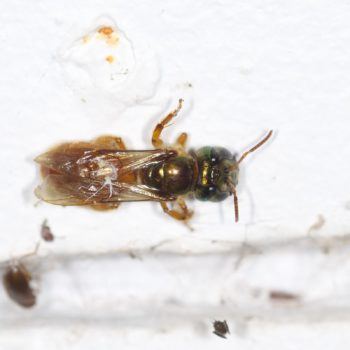 Megalopta sp. (Nocturnal Bee)