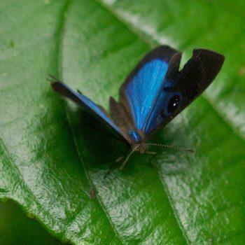 Mesosemia asa (Deep-blue Eyed-metalmark) - Costa Rica
