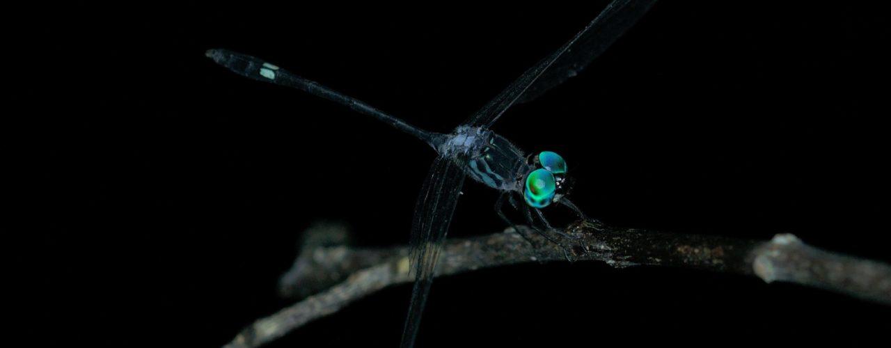 Micrathyria sp. (Segellibelle)