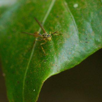 Mischocyttarus sp. (Feldwespe)