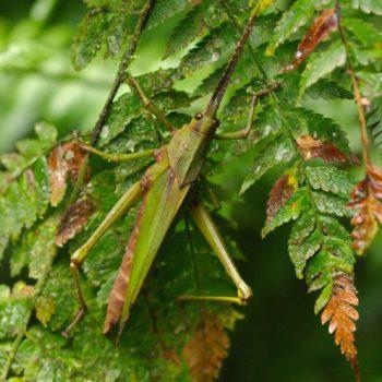 Orthoptera (Heuschrecken) - Costa Rica 2018