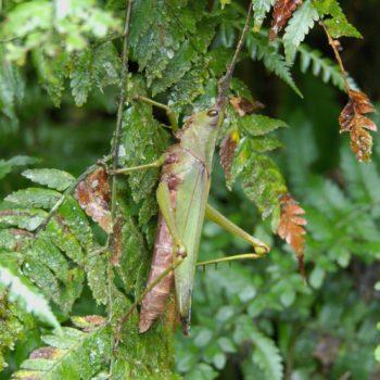 Munatia biolleyi (Riesenschrecke) - Costa Rica