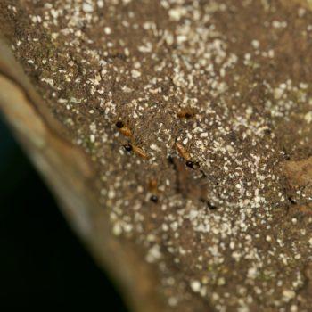 Nasutitermes sp. (Höhere Termite)