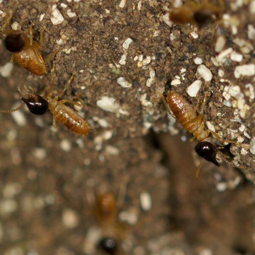 Nasutitermes corniger (Conehead Termite)