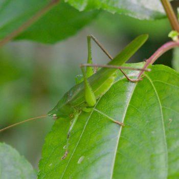 Neoconocephalus sp. (Langfühlerschrecke) - Costa Rica