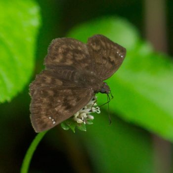 Nisoniades godma (Godma Tufted-Skipper)