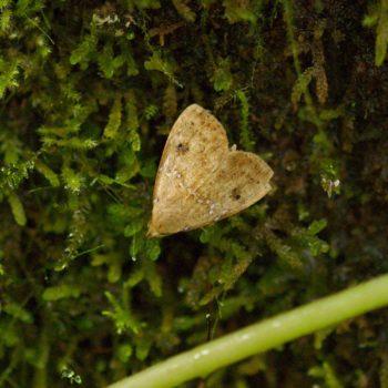 Noctuidae sp. (Eulenfalter)