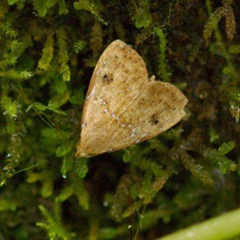 Noctuidae sp. (Eulenfalter) - Costa Rica