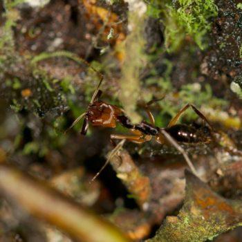 Odontomachus erythrocephalus (Schnappkieferameise)