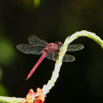Orthemis discolor (Carmine Skimmer) - Costa Rica