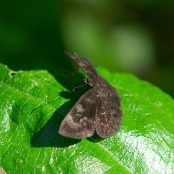 Ouleus fridericus (Fridericus Spreadwing)