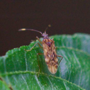 Ozophora sp. (Glasflügelwanze) - Costa Rica