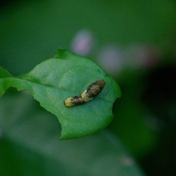 Papilio cresphontes/thoas (Schwalbenschwanz)