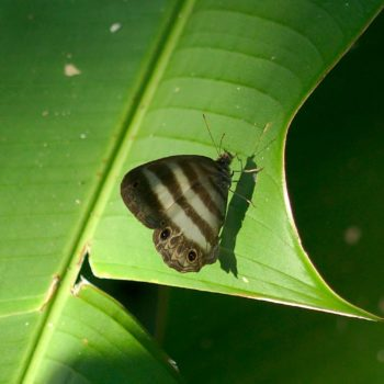Pareuptychia ocirrhoe (Two-banded Satyr)