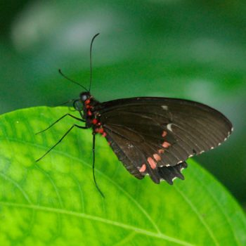 Parides erithalion (Variable Cattleheart) - Costa Rica