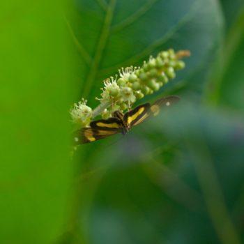 Phaeochlaena gyon (Zahnspinner)