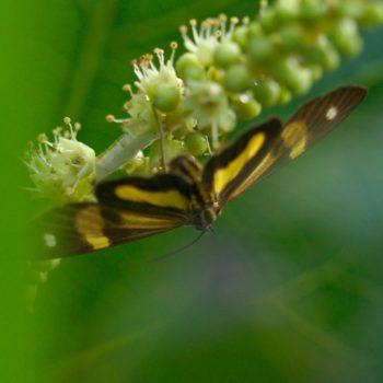 Phaeochlaena gyon (Zahnspinner) - Costa Rica