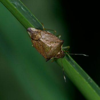 Asopinae