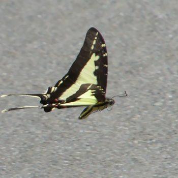 Protographium dioxippus (Dickrand-Schwalbenschwanz) - Costa Rica