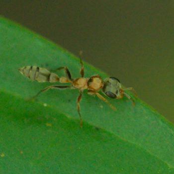 Pseudomyrmex gracilis (Knotenameise)