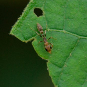 Pseudomyrmex sp. (Knotenameise)
