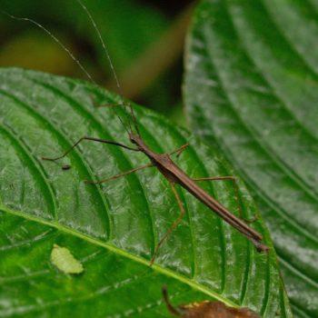 Phasmatodea (Gespenstschrecken)