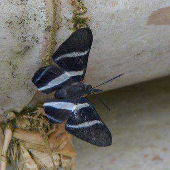Rhetus arcius (Würfelfalter) - Costa Rica
