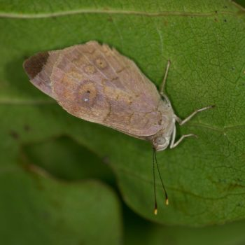 Riodinidae sp. (Würfelfalter) - Costa Rica