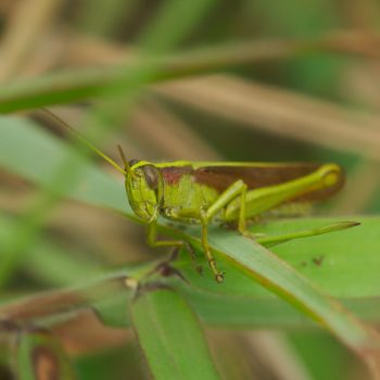 Schistocerca sp. (Feldheuschrecke) - Costa Rica