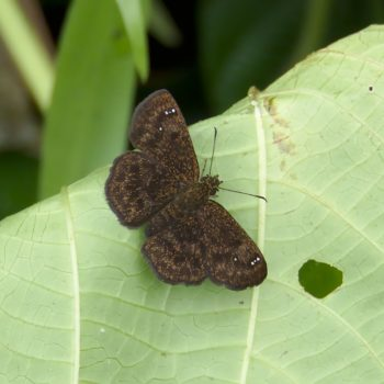 Staphylus caribbea (Panamanian Sootywing)