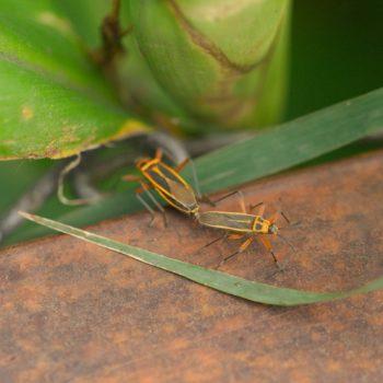 Stenomacra marginella (Wanze)