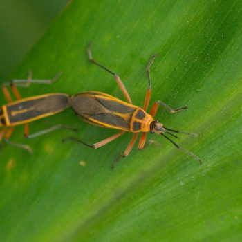 Stenomacra marginella (Bordered Plant Bug) - Costa Rica