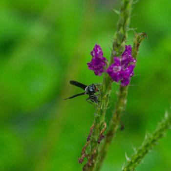 Synoeca septentrionalis (Warrior Wasp)