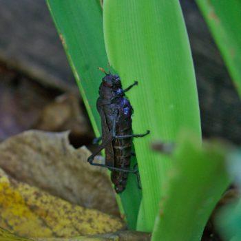 Taeniopoda reticulata (Reticulate Lubber Grasshopper)