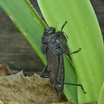 Orthoptera (Heuschrecken)