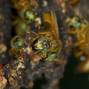 Tetragona ziegleri (Stachellose Biene)