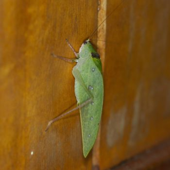 Tettigoniidae sp. (Laubheuschrecke) - Costa Rica