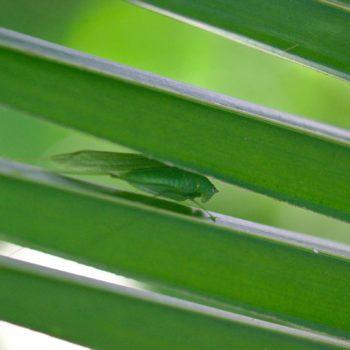 Tettigoniidae sp. (Laubheuschrecke)