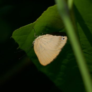 Theope sp. (Würfelfalter) - Costa Rica