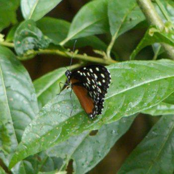Tithorea tarricina (Tarricina Longwing) - Costa Rica