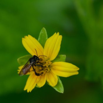 Trigona fulviventris (Stachellose Biene)