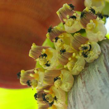 Trigona sp. (Stachellose Biene)