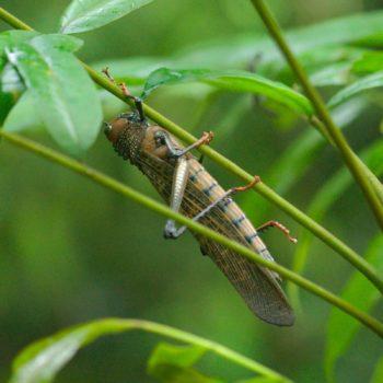 Tropidacris cristata (Rotflügelige Riesenschrecke)
