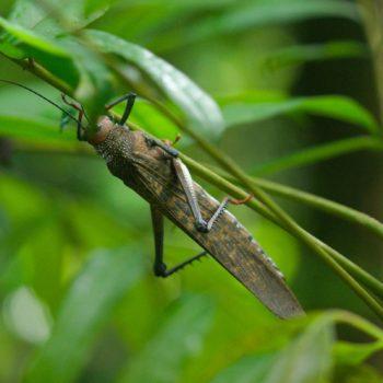 Tropidacris cristata (Rotflügelige Riesenschrecke) - Costa Rica