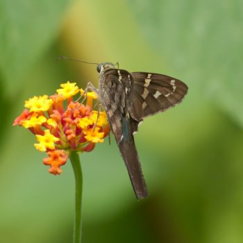 Urbanus proteus (Long-tailed Skipper)