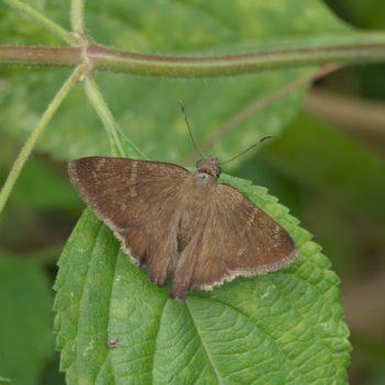 Urbanus simplicus (Plain Longtail)