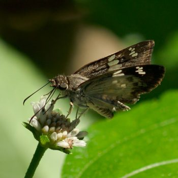 Xenophanes tryxus (Glassy-winged Skipper)